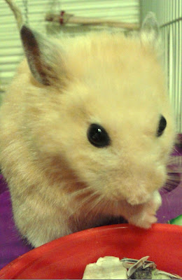 adult male black eyed cream Syrian hamster