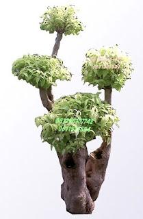 Bonsai anting putri jasa tukang taman surabaya