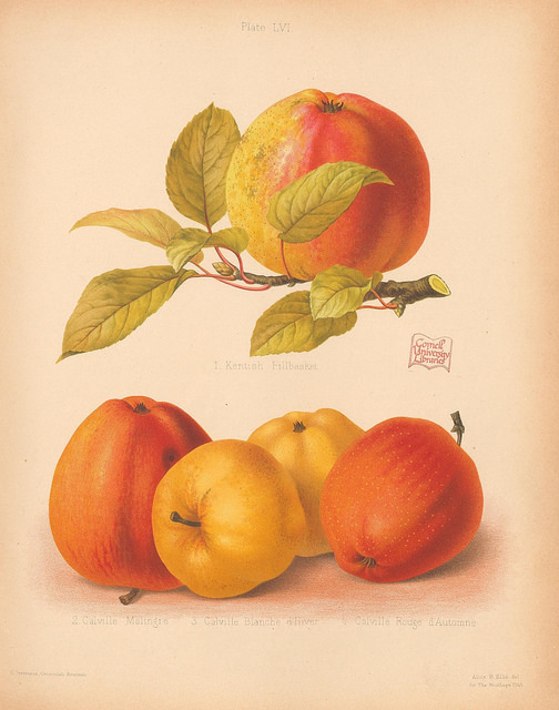 Color plate from the Herefordshire Pomona