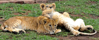 Captive lion breeders argue it is better that lion trophy hunter's shoot a captive-bred lion than a wild lion.