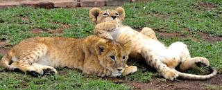 Captive lion breeders argue it is better that lion trophy hunter's shoot a captive-bred lion than a wild lion.