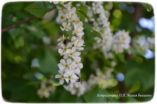 cvetushhaja-cheremuha