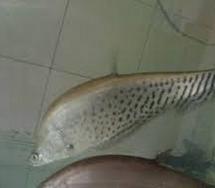 budidaya ikan belida
