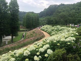 Tokyo Summer Land hydrangea