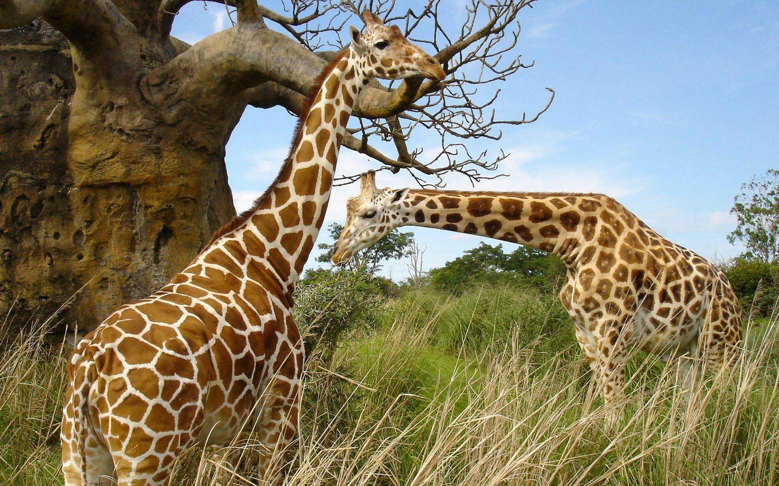 giraffe wallpapers hd pictures - photo #18