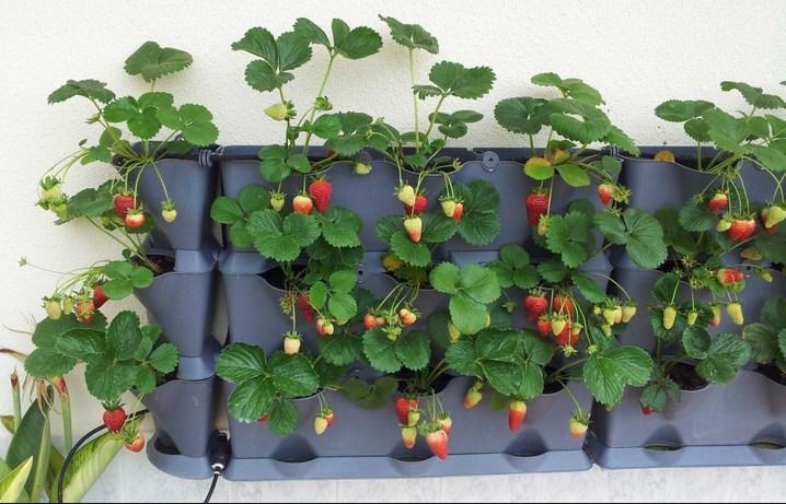 Siapkan tanaman strawbery Gunakan Media Tanam Hydroponik