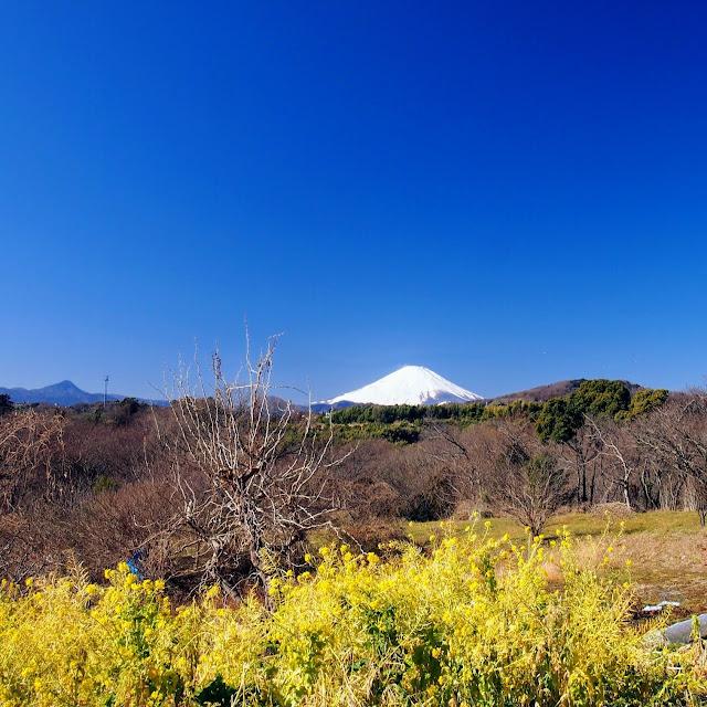 中井 富士山 菜の花