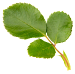 Flower_Leaf_1.png