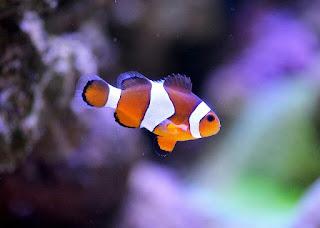 Jenis Ikan Hias Air Laut Badut Clownfish