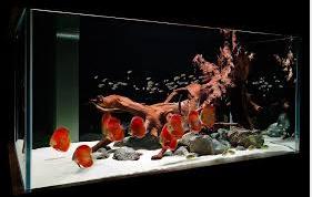Profil Ikan Hias Diskus ikan hias aquarium
