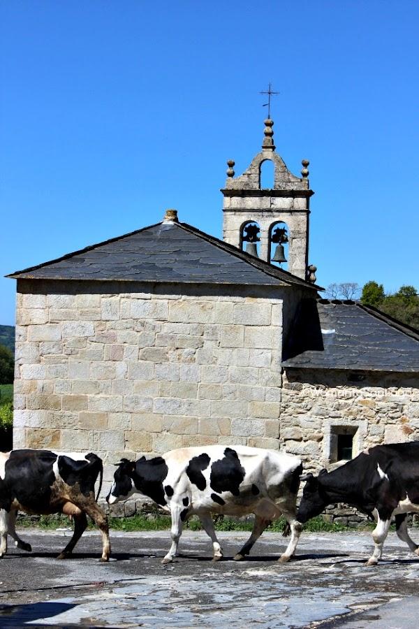 camino-de-santiago-frances-vacas-barbadelo-a-mercadoiro
