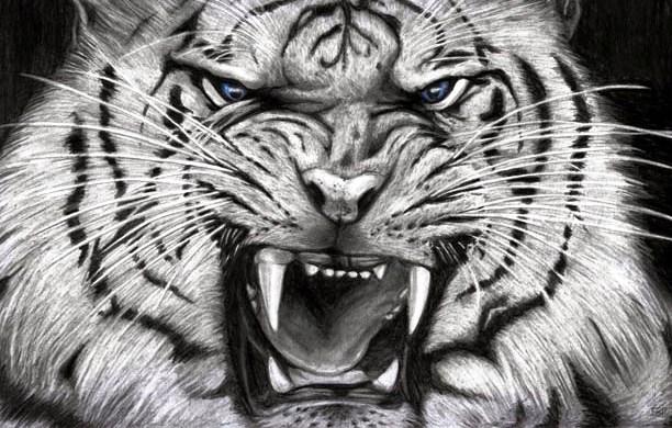 Macan Putih Wallpaper Www Picswe Com