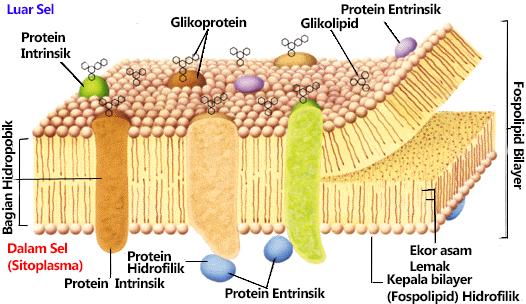 Belajar lagi 4 membran plasma atau mampu disebut pula membran sel merupakan pecahan sel terluar yang berperan sebagai pembatas pecahan dalam sel dengan lingkungan sekitar ccuart Choice Image