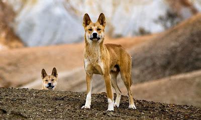 Dingo nasıl bir hayvandır?