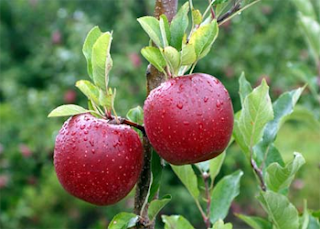 13 Manfaat Buah Apel Untuk Kesehatan Tubuh