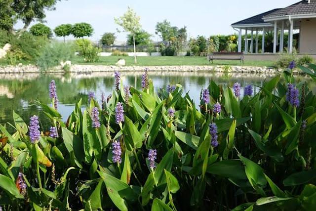 Peisagist, proiectare gradina cu lac artificial, piscina ecologica.