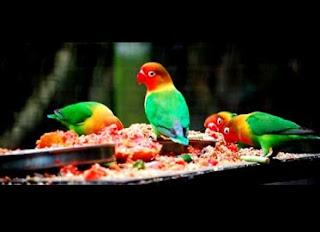 lovebird ngekek panjang mp3,lovebird ngekek panjang si lamborgini di rumah,cara merawat lovebird agar rajin ngekek,ciri lovebird ngekek panjang,makanan lovebird biar gacor,