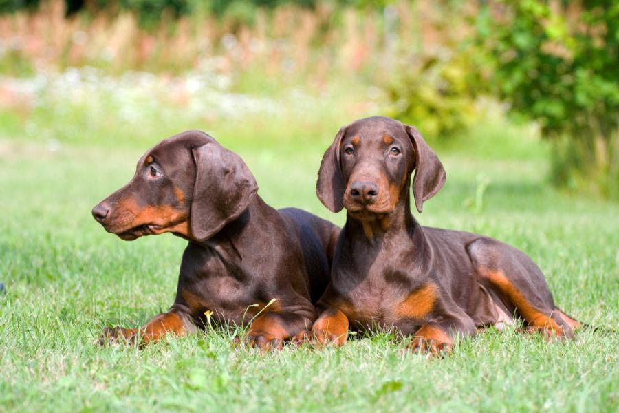 Rottweiler or Rottie | Australian Dog Lover