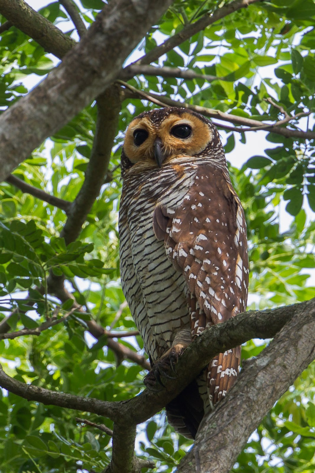 Spotted wood owl, which are nationally critically endangered.