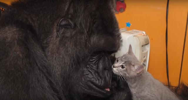 Gorila contemplando un gatito