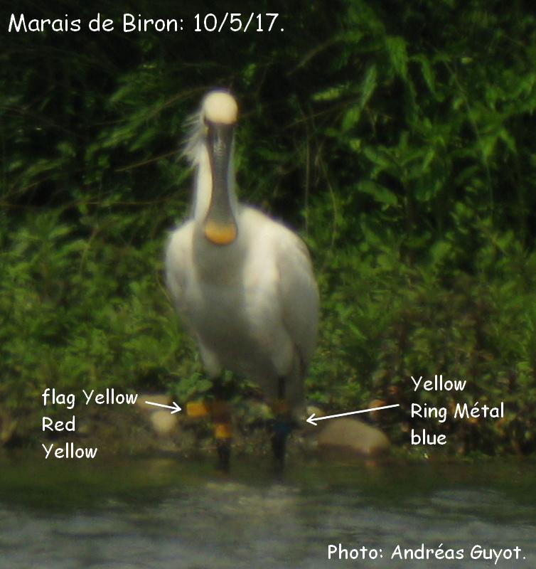 Bague oiseaux hollande