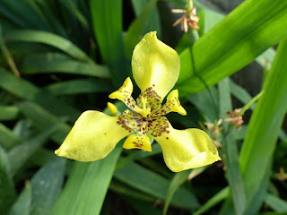 Iris jaune du Brésil - Neomarica longifolia