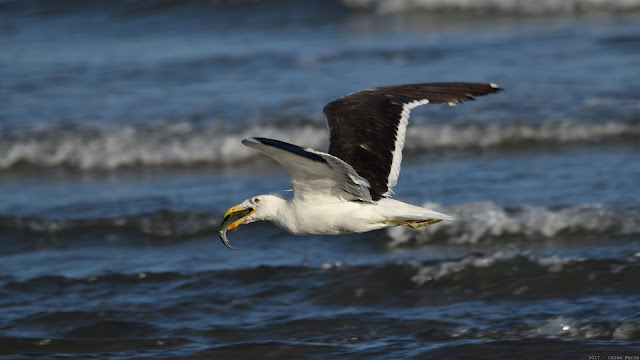 Kelp Gull Larus dominicanus Gaivotão Gaviota Cocinera
