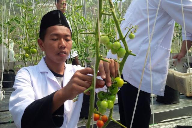 """Matur Nuwun Pak Jokowi, Santri Al Mina Akan Kirim Tomat ke Istana"""