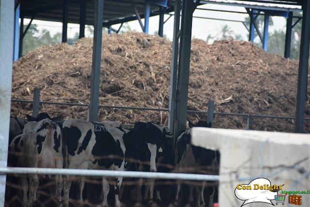 cows פרות