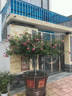 hoa hồng cổ sapa trồng trước cổng