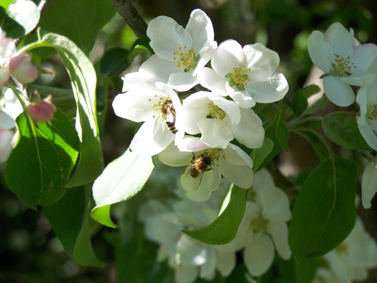 Wallpapers Crabapple Blossoms
