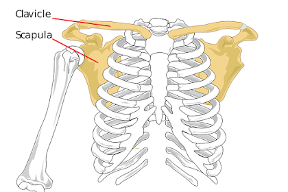 Scapula Pain - How to Relieve Pain in Shoulder Blades