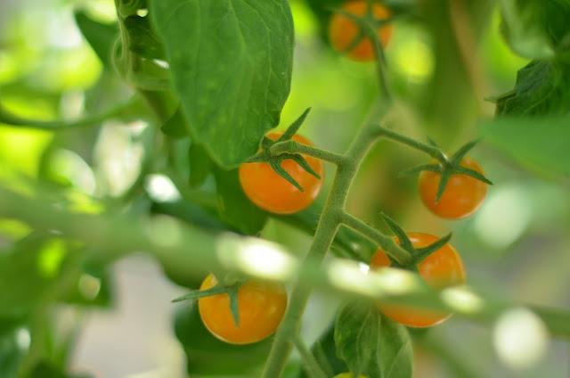 egna tomater
