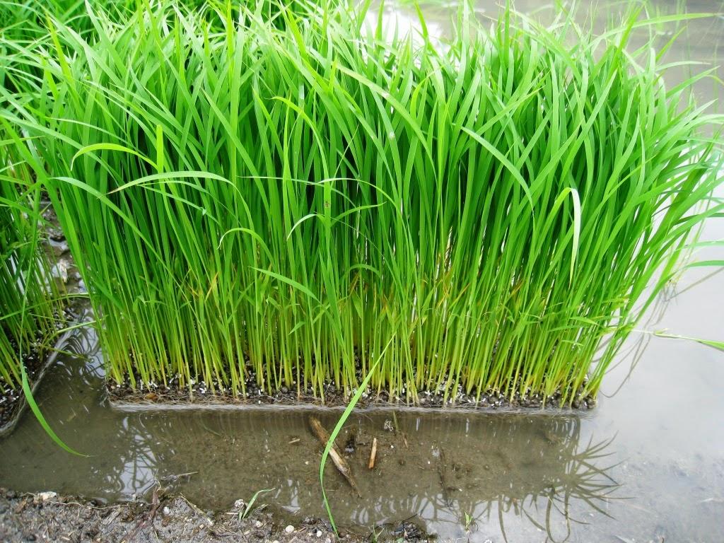 Life in Rural Japan: Rice planting 2014  Life in Rural J...