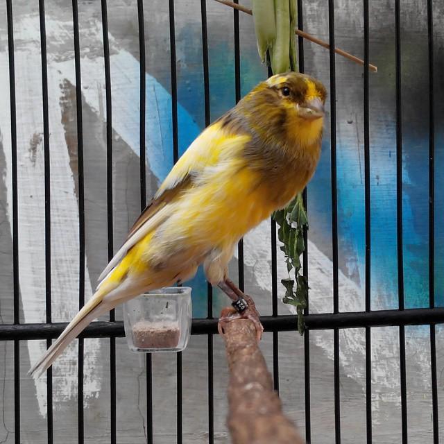 Tagteam Mengenal Berbagai Jenis Burung Kenari Dari Seluruh Dunia All About Pleci Capebanget Com