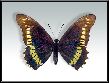 Mariposa borde de oro Battus polydama