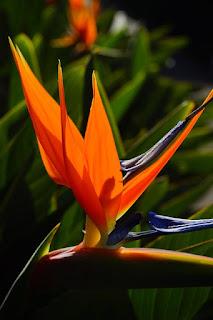 bunga Cendrawasih berasal