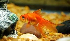 Inilah Jenis Ikan Koki Beserta Gambar Ikan Koki fantail