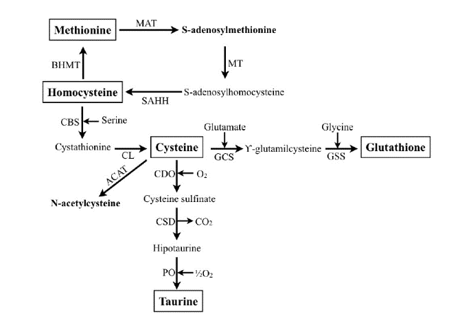 Part 3 Genetic Health Testing: Cystathionine beta-synthase