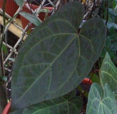 Daun anthurium ace of spades bertulang daun melengkung