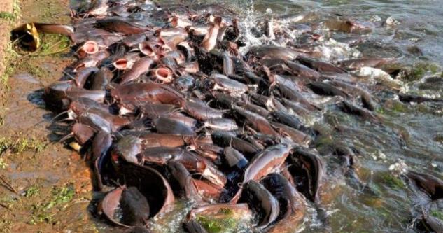 Cara budidaya ikan lele bagi pemula kolam terpal dan biasa ...