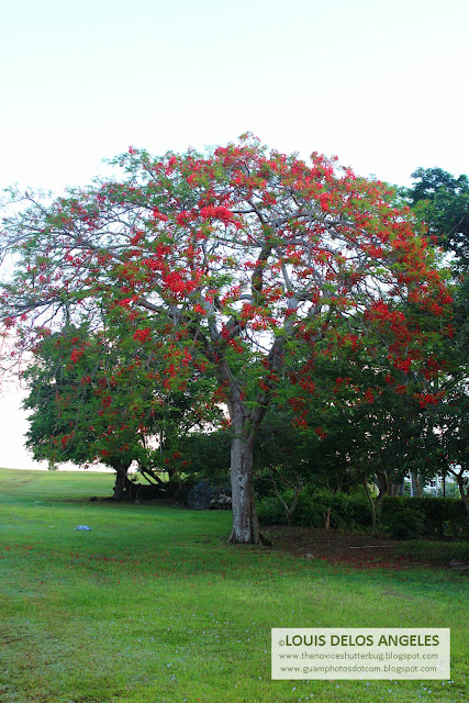 another fire tree, hmmm it seems there are lots of fire tree in Lower Tumon