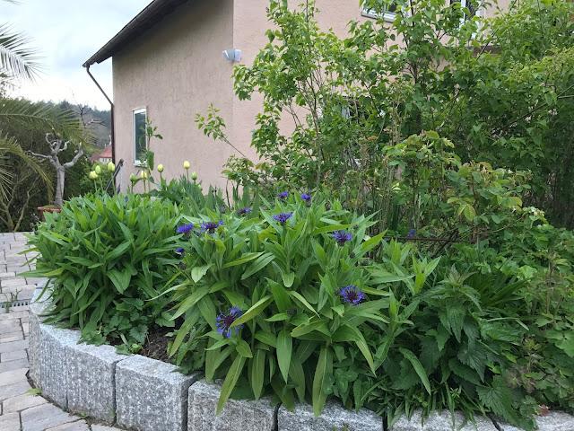 Berg-Flockenblumein Blau und bald blühende weiße Tulpen in Blau (c) by Joachim Wenk