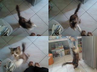 Aksi akrobatik Cathy, si kucing anggora betina
