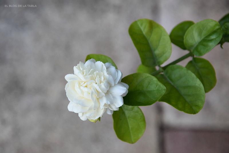 Jasminum sambac 'Gran Duque de la Toscana'
