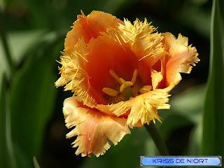 Tulipe frangée orange