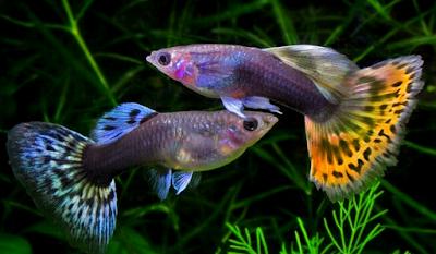 Cara Mengobati Penyakit Jamur pada Ikan Guppy