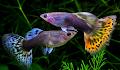 5 Cara Mengatasi Penyakit dan Mengobati Penyakit Jamur pada Ikan Guppy