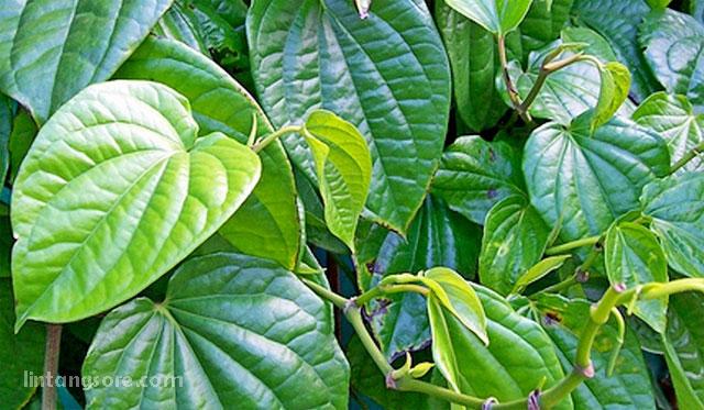Daun sirih tanaman pengusir nyamuk