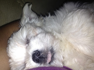 Maltese tongue sticking out, dog asleep tongue sticking out